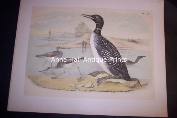 "Loon Chromolithograph by Studer 1865 11 1/2 x 14 1/2"" #1144 $150."