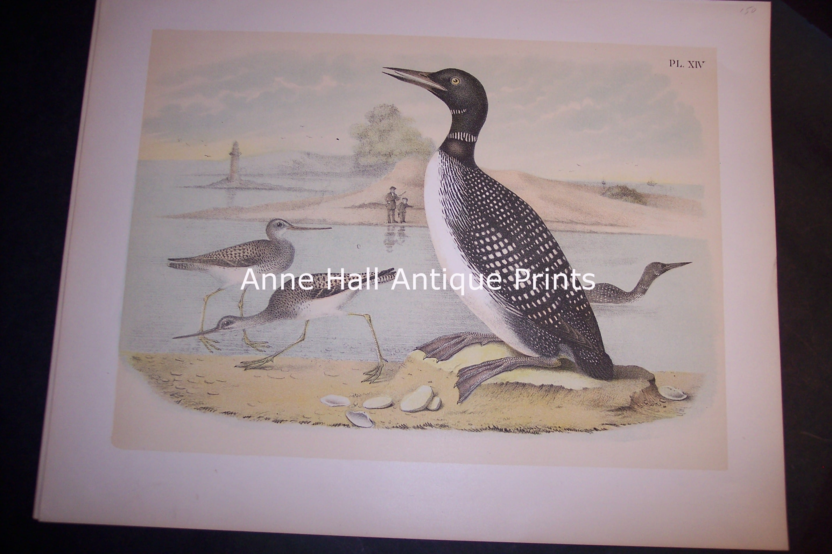 """Loon Chromolithograph by Studer 1865 11 1/2 x 14 1/2"""" #1144 $150."""