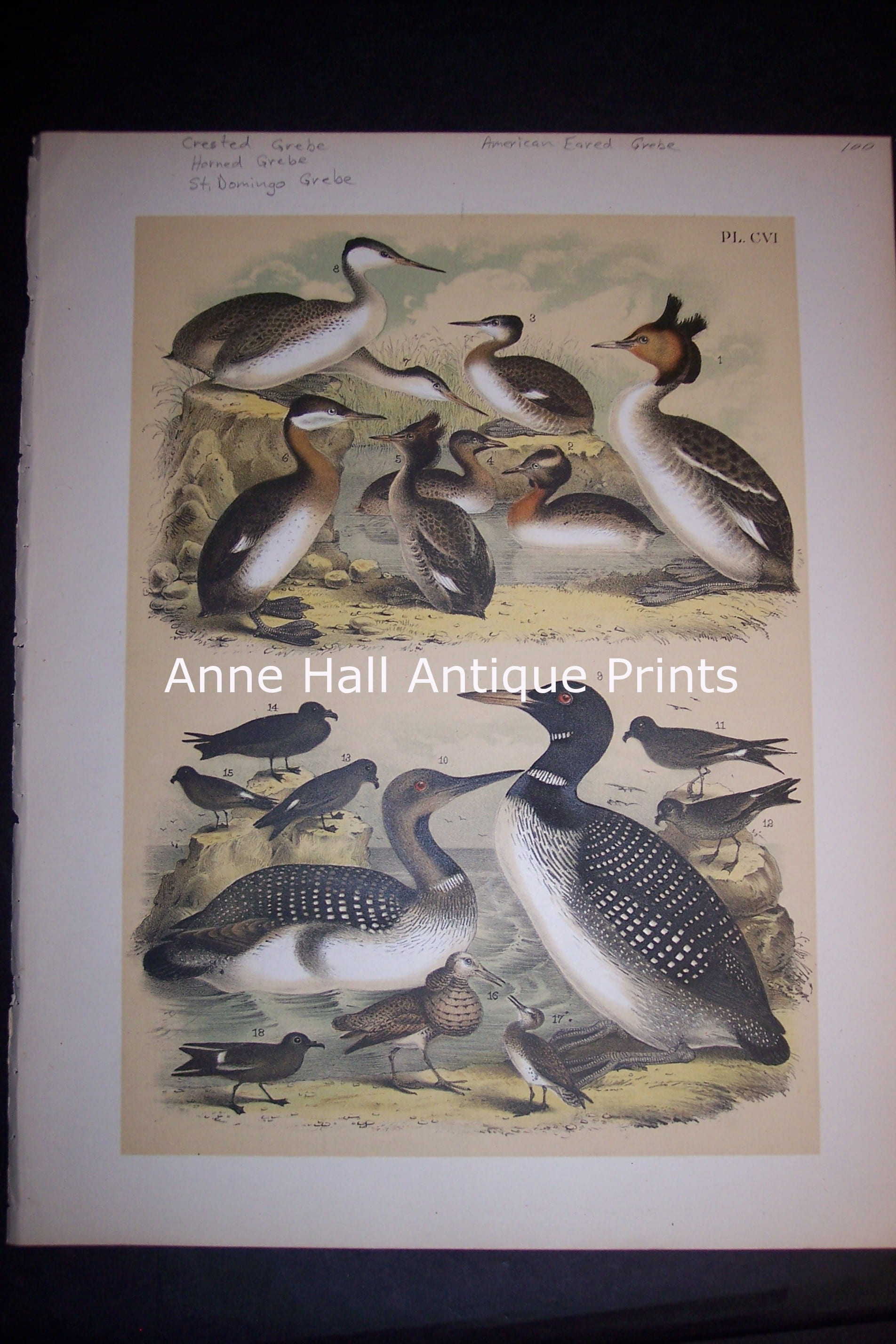Loon Chromolithograph by Studer 1145