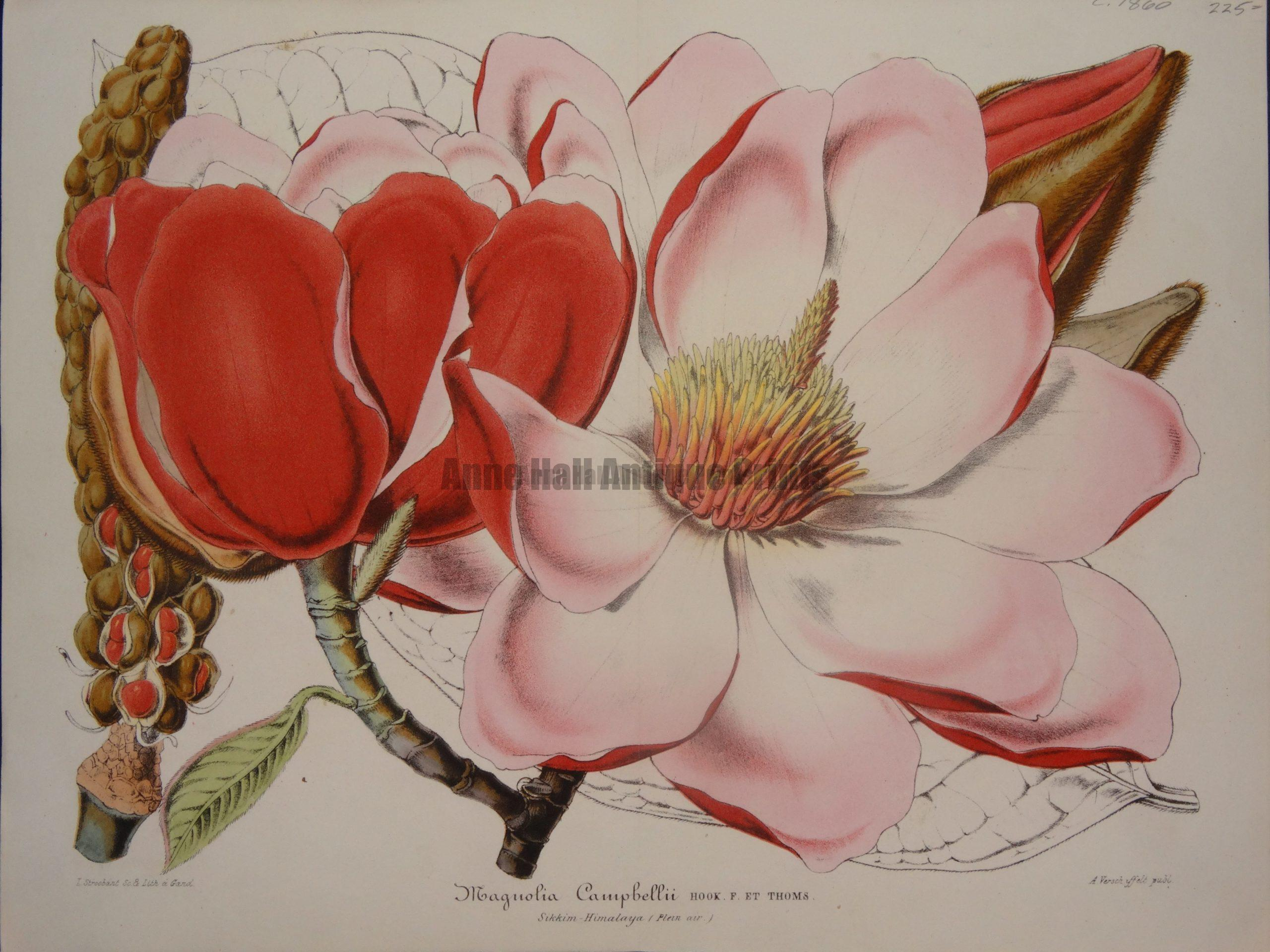 Magnolia Campbellii by Verschaffelt, $225.