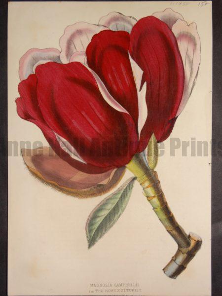 Magnolia Campbellii, $150.