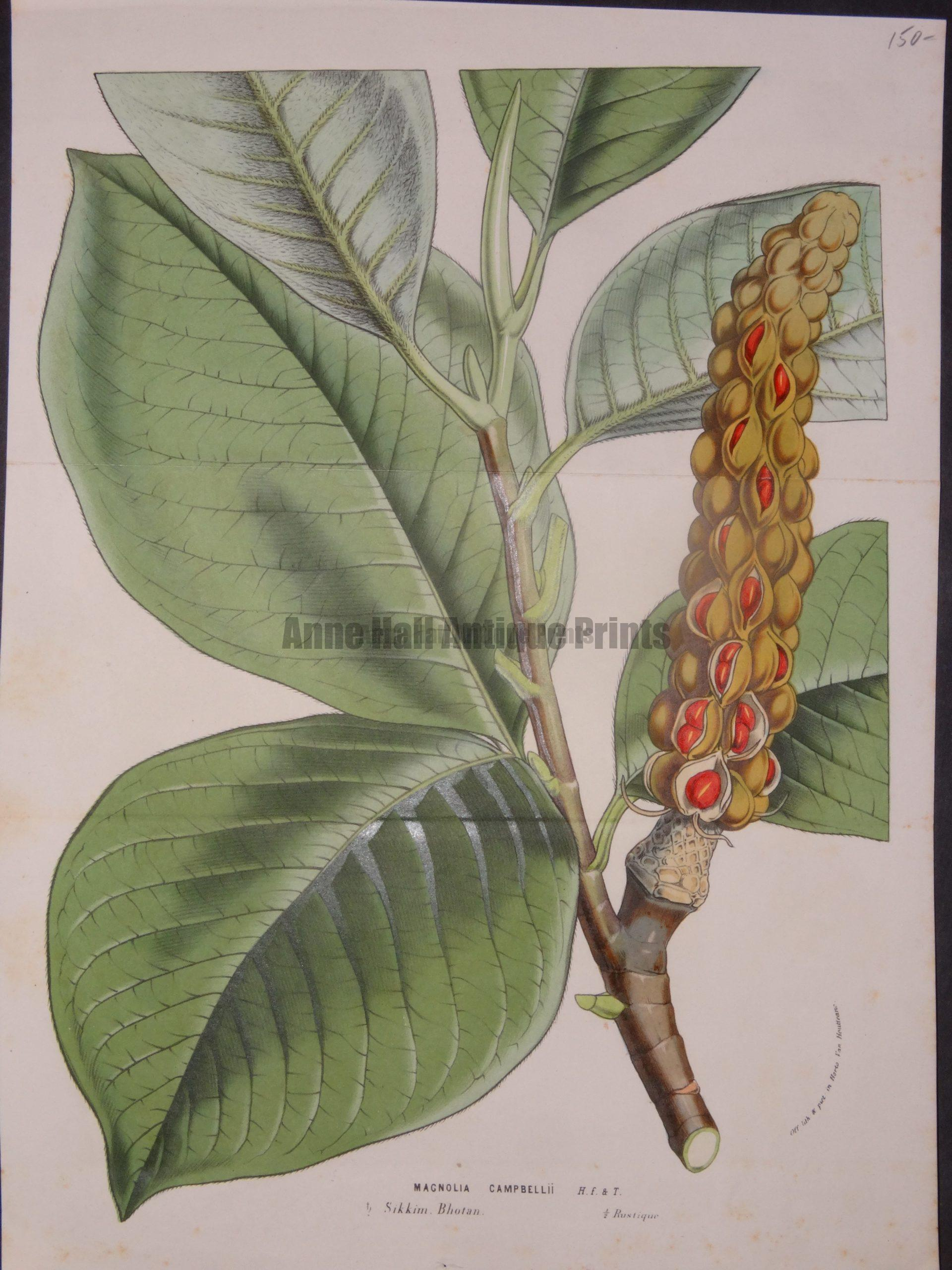 Magnolia Campbellii Pod by Van Houtteano, $150.