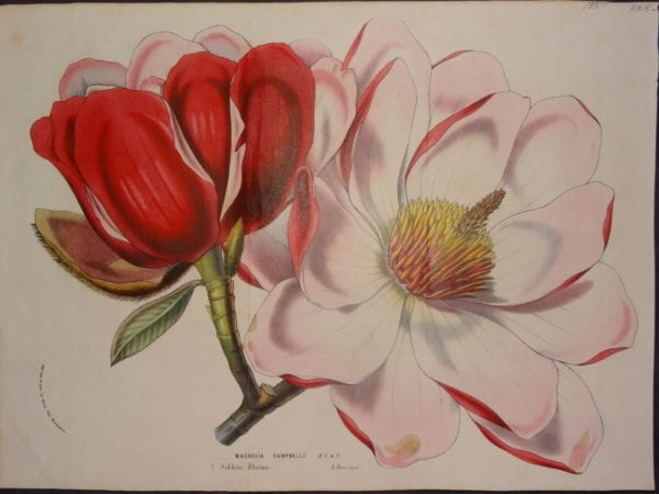 Magnolia Campbellii by Van Houteano, $225.