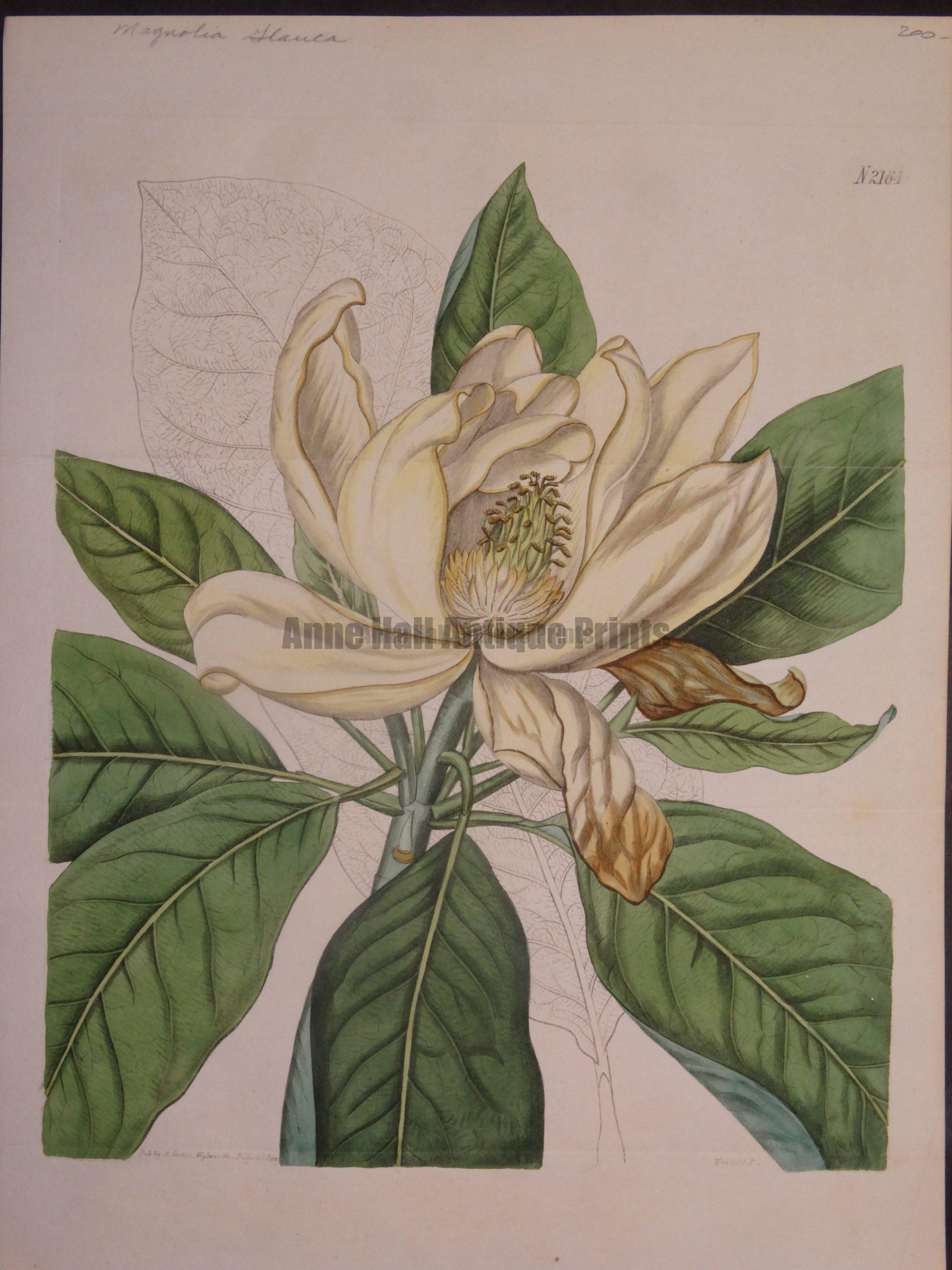 Magnolia Glauca by Curtis $200.