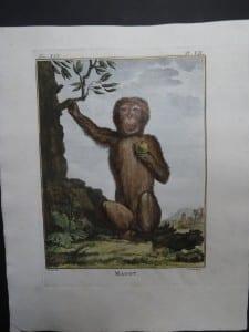 Magot Monkey