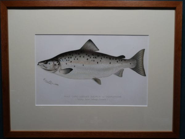 Male Land Locked Salmon or Quananiche by Denton Framed $165. with free US shipping