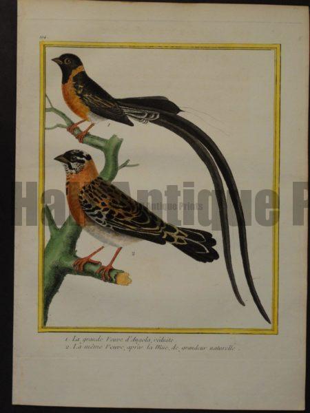 Martinet 194, La grande Veuve d'Angola, reduite