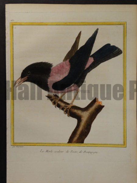 Martinet 251, Le Merle couleur de Rose, de Bourgogne, pink and black bird.