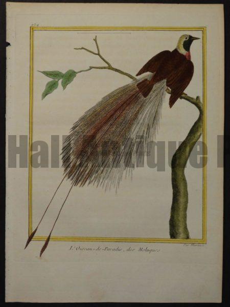 Martinet 254, L'Oiseau-de-Paradis, des Moluques