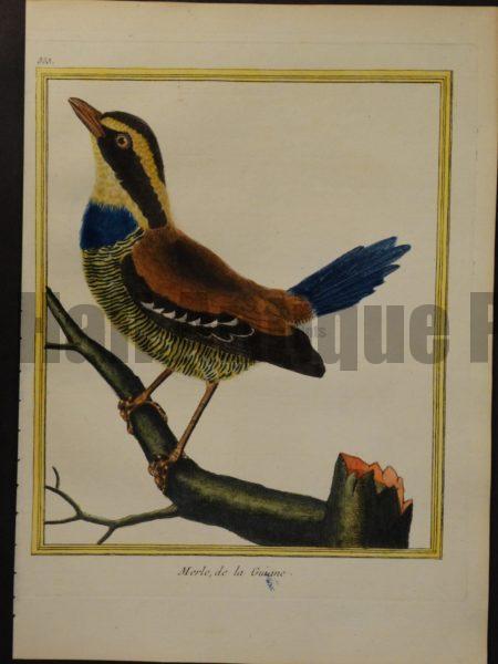 Martinet 355, Merle, de la Guiane., a rare antique bird engraving.