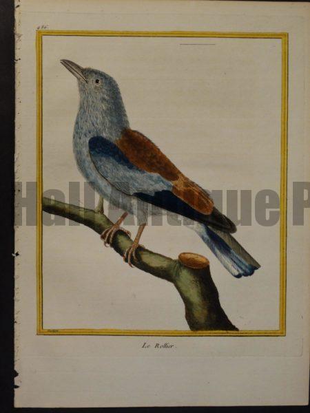 Francois Nicolas Martinet engraving from Histoire des Oiseaux. Martinet 486, Le Rollier.