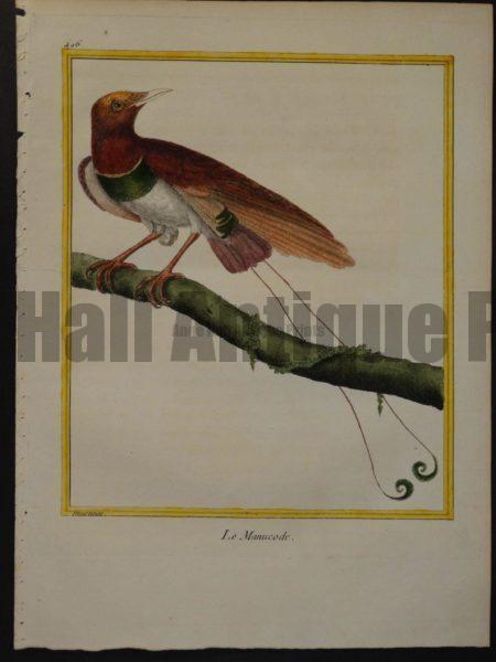 Birds of Paradise Martinet 496, Le Manucode.  Bird of Paradise.  $300.