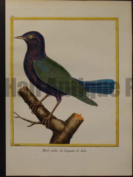 Francois Nicolas Martinet engravings.  Martinet 540, Merle violet, du Royaume de Juda.