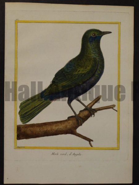 Martinet 561, Merle verd, d'Angola.  18th century originall hand-colored bird engraving.