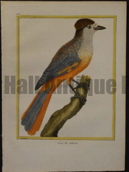 Martinet 608, Geai de Siberie, is hand colored engraving of orange and grey bird.