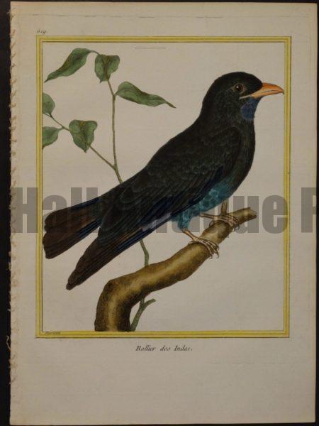 Martinet birds oiseaux engravings.  Martinet 619, Rollier des Indes.