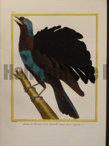 Martinet 632, Oiseau de Paradis de la Nouvelle Guinee, dit le Superbe