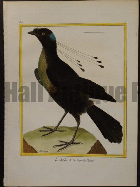 Francois Nicolas Martinet engravings of Birds of Paradise.  Martinet 633, Le Sifilet, de la Nouvelle Guinee.
