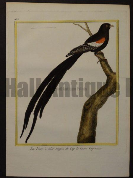 Martinet 635, La Veuve a ailes rouges, du Cap de bonne Esperance.  $250.