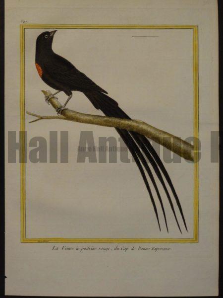 Martinet 647, La Veuve a poitrine rouge, du Cap de Bonne Esperance