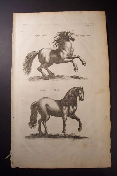 Johnston Merian Engraving of Horses from 1646