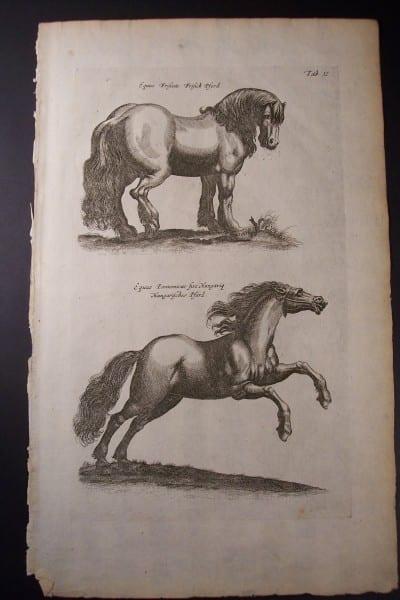 Merian Horse Engraving (2)