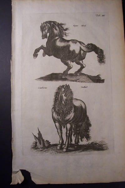 Merian Horse Engraving (3)