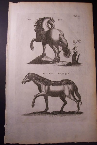17th century engraving of horses.