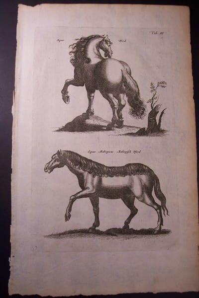 Merian Horse Engraving (4)