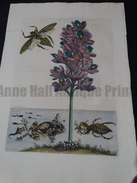 Merian Insects of Surinam Water Frogs and Bugs