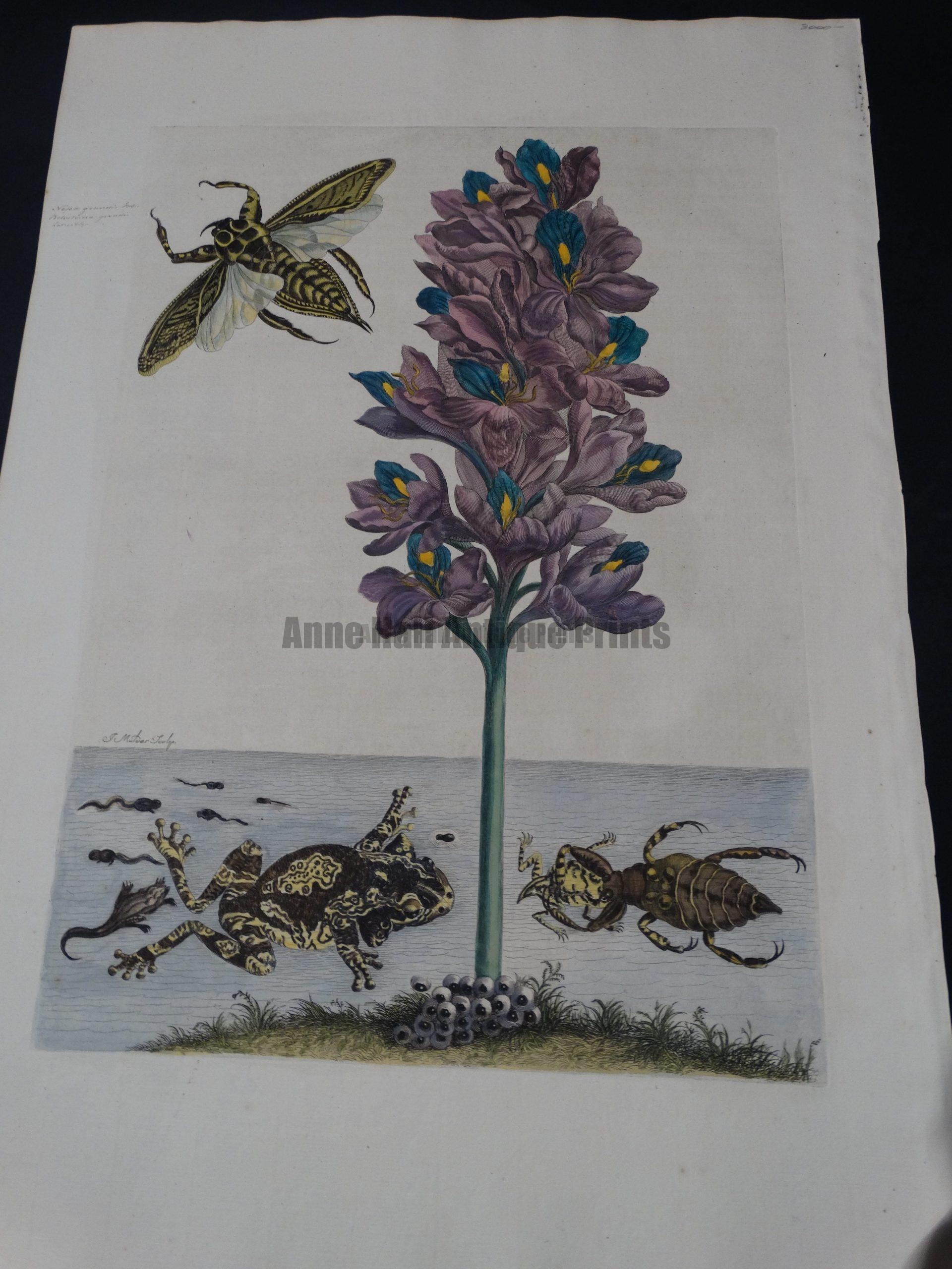 Rare engraving, Maria Sybilla Merian sourced from Metamorphosis Insectorum Surinamensium Water Frogs and Bugs