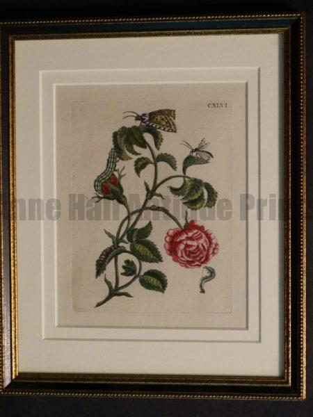 Rare Maria Merian engraving from 1730 of caterpillars butterflies and pink rose.