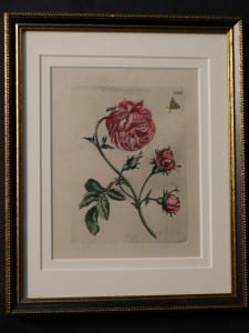 Maria Merian Insects Rose Engraving