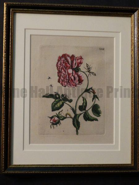 Spectacular set of 3 Maris Sybilla Merian Roses with caterpillars.