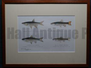 Misc Fish by Denton Framed $115. with free US shipping