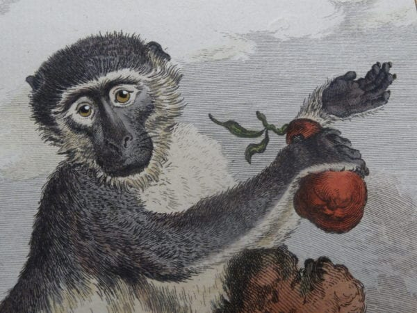 Monkey Prints! Shop now for antique monkey lithographs and hand colored engravings..