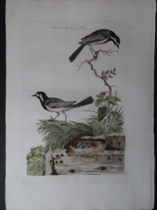 Motacilla, alba Nest