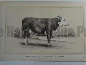 Mrs. S. Edwards Hereford Heifer Leonora