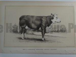 Mrs. S. Edwards Hereford Heifer Leonora