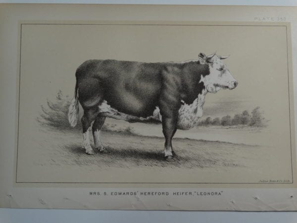 an 1888 lithograph of a Mrs. S. Edwards Hereford Heifer Leonora