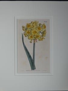 Narcissus by Curtis, #1026