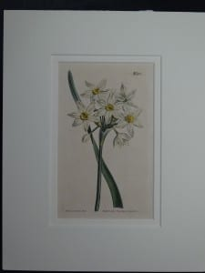 Narcissus by Curtis, #1188