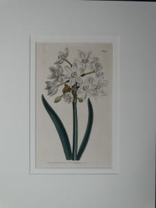 Narcissus by Curtis, #947