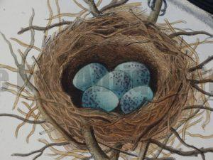 Oology Nests Eggs