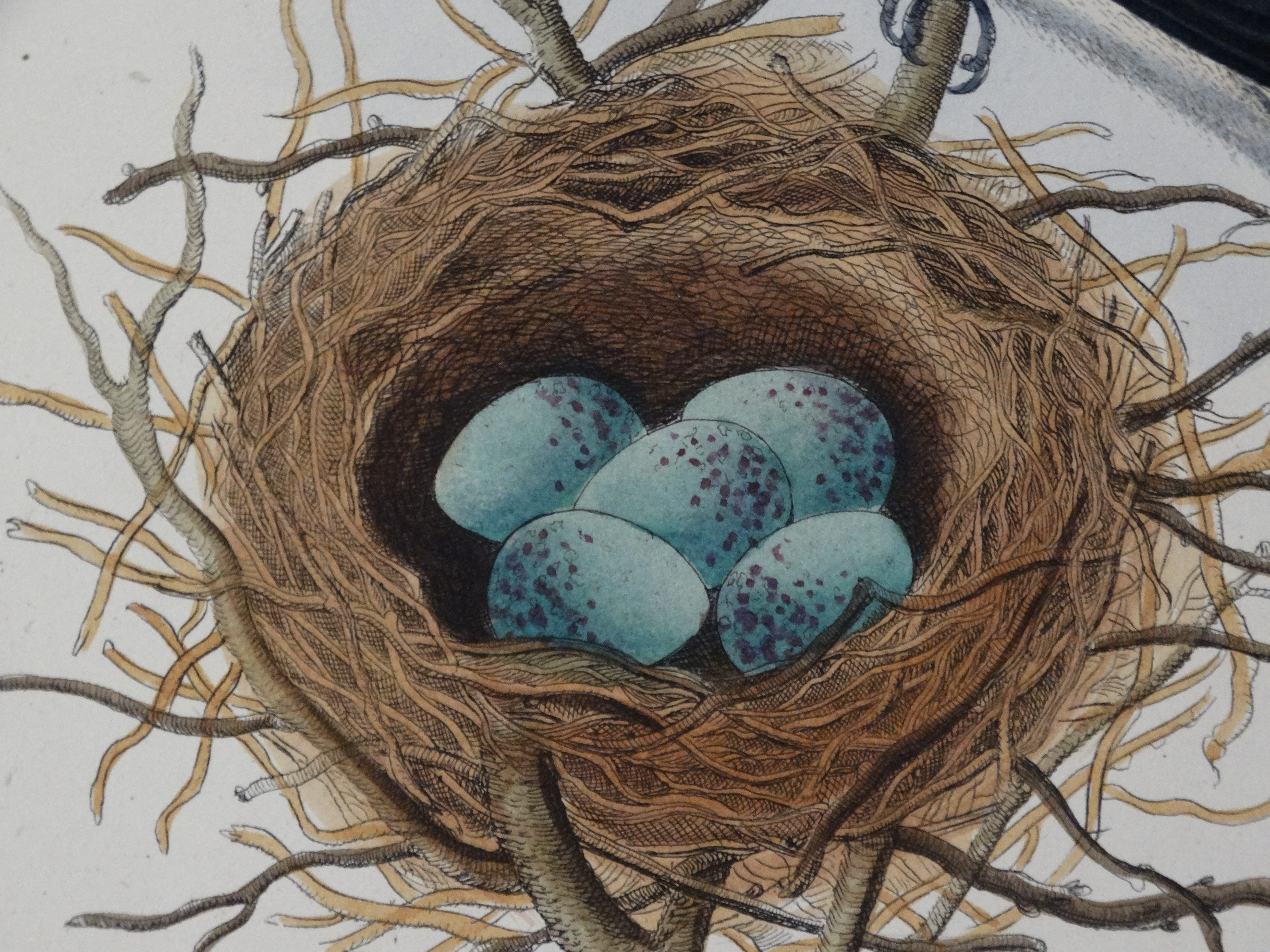 Nests Eggs antique engravings lithographs to buy online now!