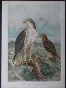 Nisaetus fasciatus, 1895. $45.