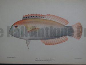 Novaculichthys Woodi Jenkins, 1903. $125.