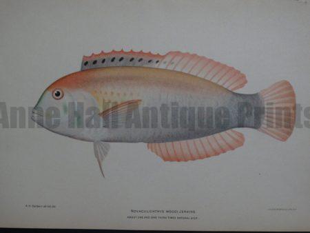 Novaculichthys Woodi Jenkins, 1903. $125. Call for availability...