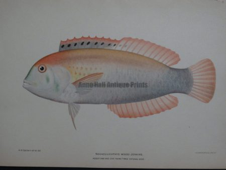 Novaculichthys Woodi Jenkins, 1903. $125. Call for availability...