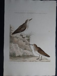 Nozeman Chardius Cinereus et Calidris 18th Century Hand Colored Copper Plate Engraving on Hand Made Rag Paper